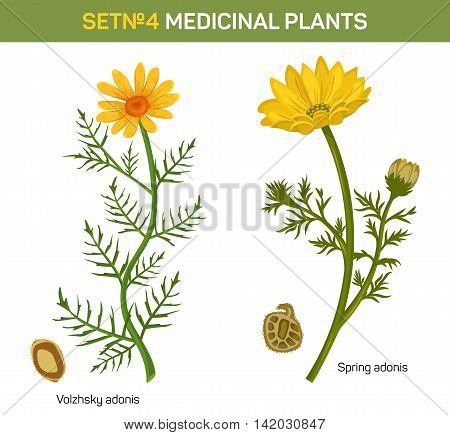 Wolgensis and spring adonis flowering medicinal plant with crossed seeds. Herbal garden plants in blossom with leaves. Can be used for herbalism or medicine book, schoolbook theme