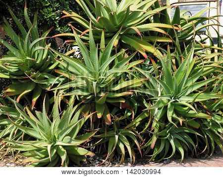 Aloes, Used For Medicinal Purposes And Found Through Out The Western Cape, South Africa