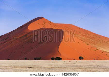 Herd of Springbok passing in front of a red dune in Sossusvlei Namibia; Concept for traveling in Africa and Safari
