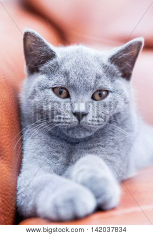 Young cute cat resting on leather sofa. The British Shorthair pedigreed kitten with blue gray fur
