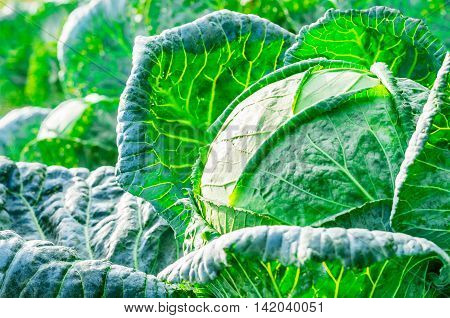 Close-up of fresh cabbage in the vegetable garden.