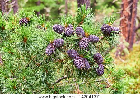 Cones of Siberian pine (Pinus sibirica) on top of tree branch. Shallow depth of field