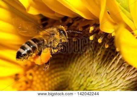 A flying european honey bee collecting pollen