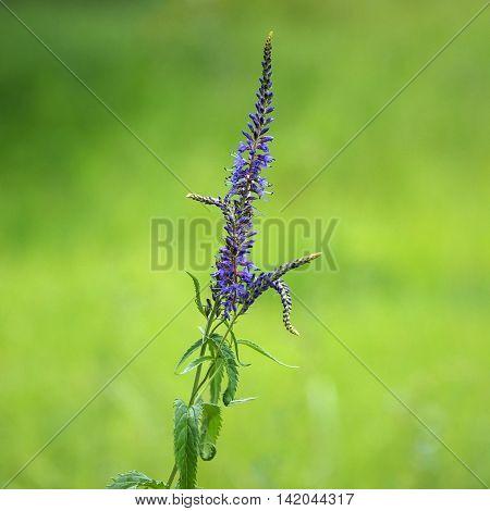 Inflorescence or leaves of Veronica longifolia (Yakutia)