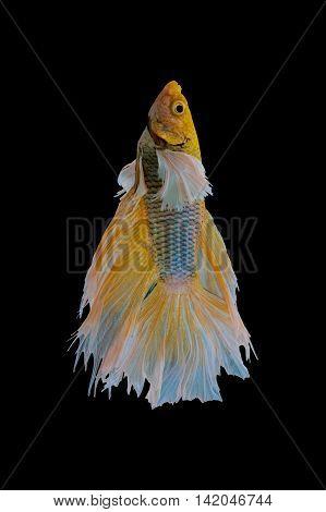 siamese fighting fish, betta fish isolated  on black