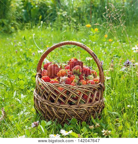 Ripe strawberries in basket on the grass.