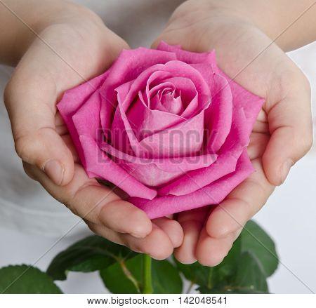 beautiful pink rosebud in hands close up