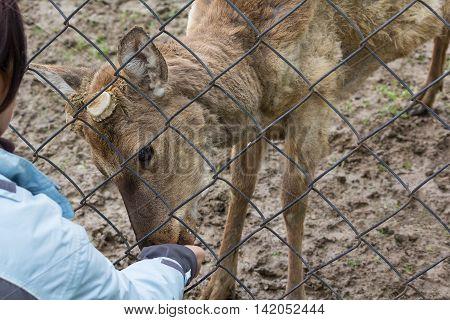 Woman feeding deer through the fence. Animals