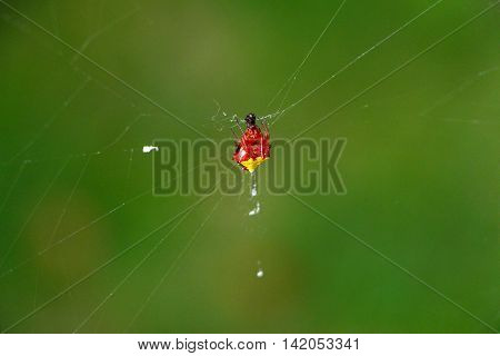 An Arrowhead Orb Weaver spider sitting in the center of its domain on its web.