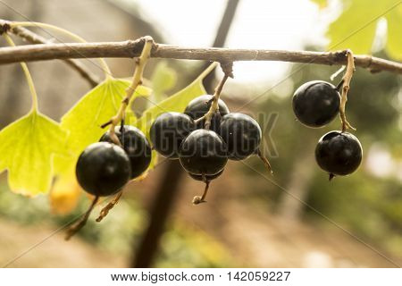 Jostaberry. Hybrid of a gooseberry and currant black