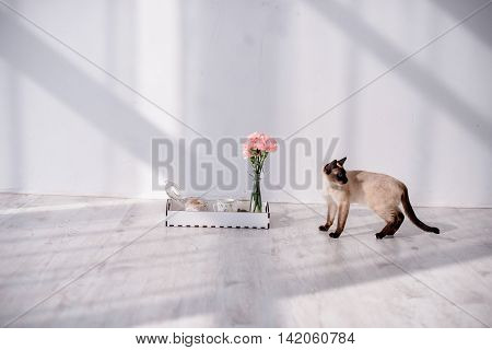 Siamese cat goes to a tray with breakfast