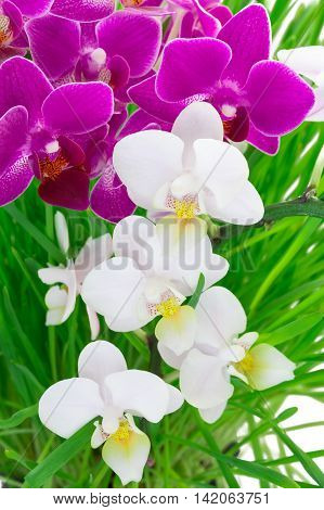 orchid on the grass background White and pink Phalaenopsis