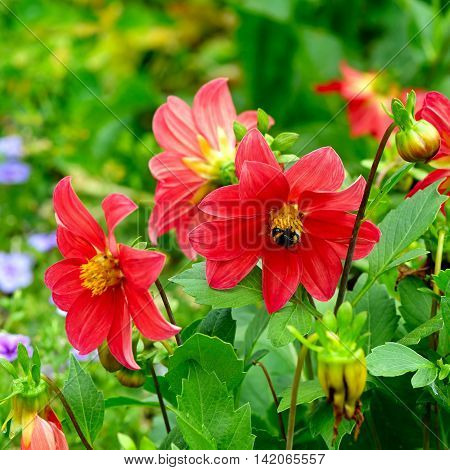 Dahlia bumble bee on a flower. Focus it on the flowers. Shallow depth of field.
