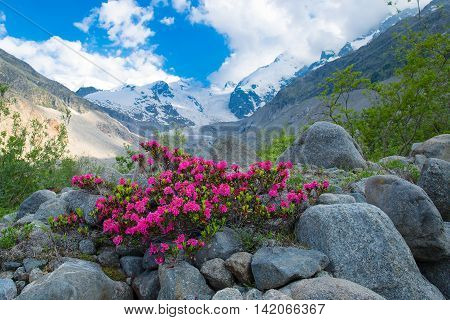 Rhododendrons In The High Mountains Under An Alpine Glacier