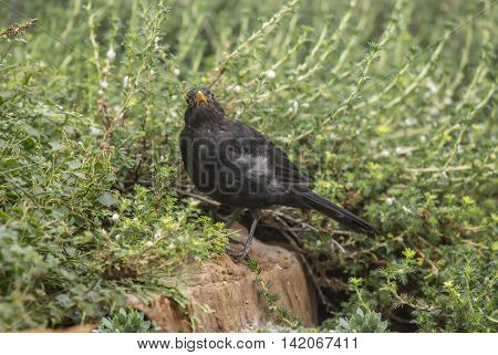 Blackbird Perched On Rock In Front Of A Bush