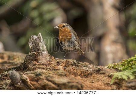 Robin, Juvenile, Perched On A Tree Trunk In A Forest