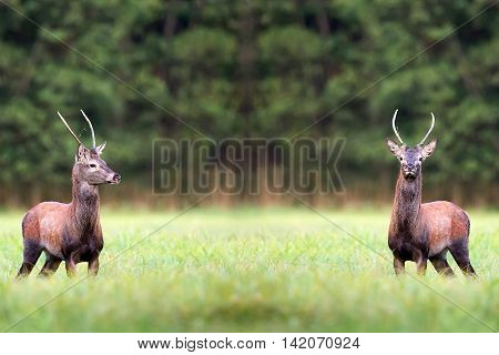 Red deers in a clearing in the wild