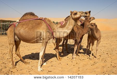 Camel Group