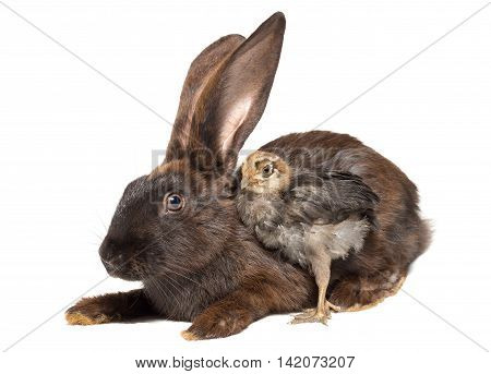 The photo shows a rabbit and chicken
