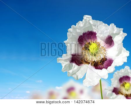 Edible poppy flower with bees on the background blue sky.