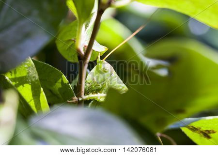 Large green grasshopper on a tree branch behind leaves