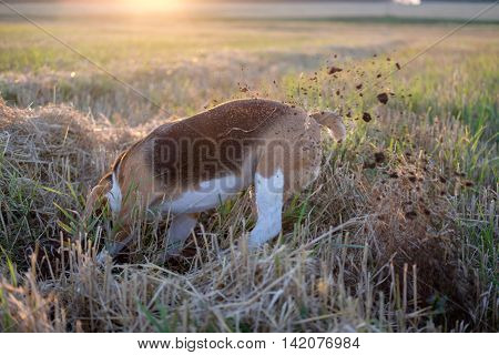 The Beagle dog is digging a hole on the field in search of mice