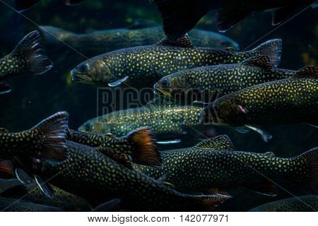 School of Large Fish Swimming Together Spotted Trout