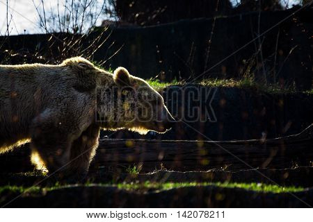 Bear Silhouetted Platform Above Glowing Illuminated Outdoors Animal