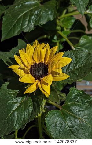 Yellow flower of sunflower on background of green leaves on a hot sunny day.