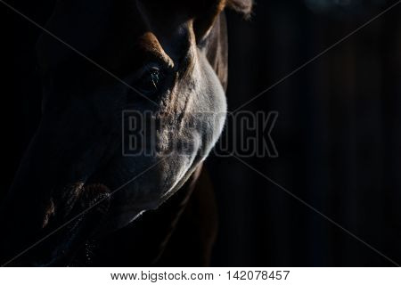 Okapi Close Face Detail High Contrast Dramatic Animal Portrait