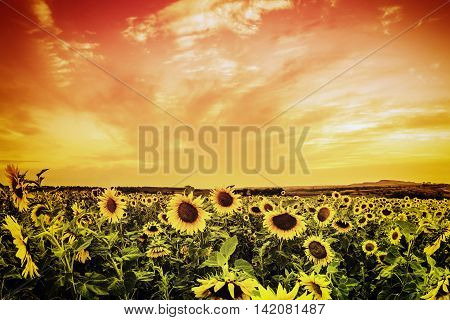 Vintage sunflower field on sunset, beautiful landscape