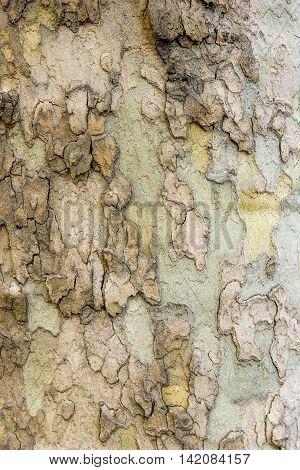Sycamore tree bark close up wood nature