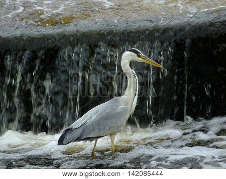 Grey Heron with cascading water in the background