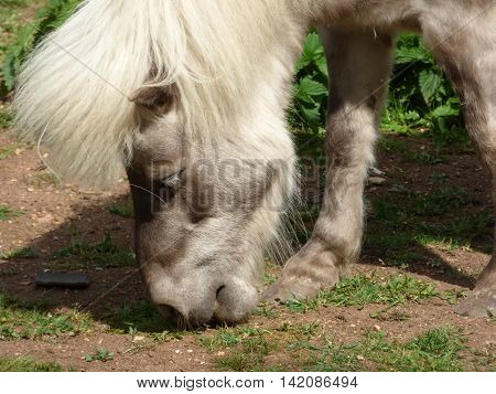Pony light brown head closeup grazing on gras