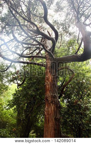 beautiful brown trunk of juniper tree with crooked and tortuous branches in crimean forest