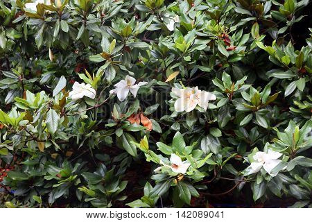 branches of magnolia with beautiful white flowers and green leaves in flowering period