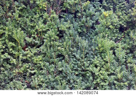 beautiful texture of coniferous juniper twigs with small green needles closeup