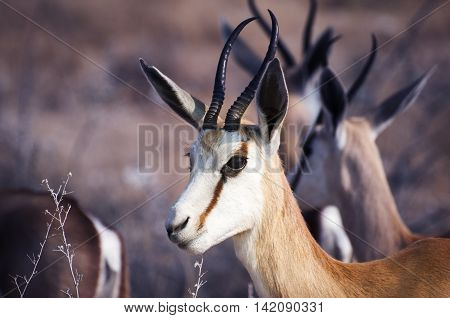 Springbok in the Etosha National Park Namibia