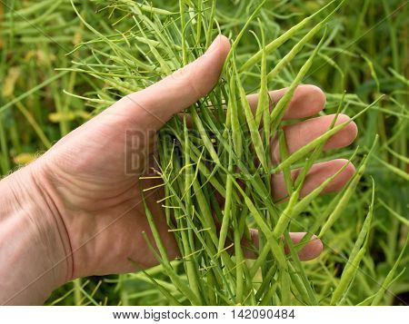 Man Hand Hold Oilseed Crop In Front. Fresh Green Beans.