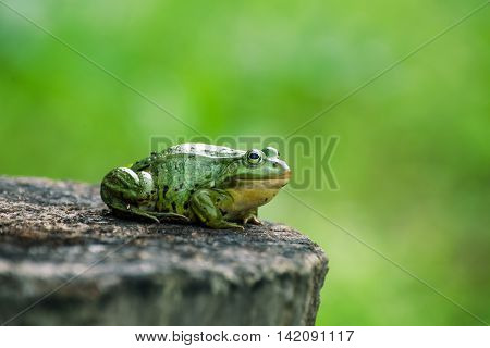 Green frog sitting on a stump, blank background for the text