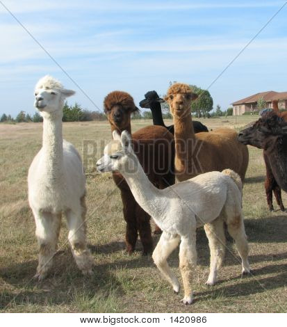 Alpaca On The Move