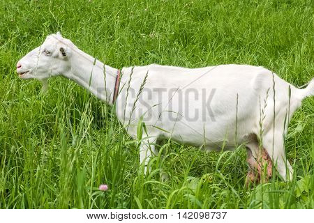 White goat with large udder. Pastoral views and rural animal grazing. The cattle in the pasture grazing. Horned cloven-hoofed livestock on a ranch. Goat's milk is good for health.