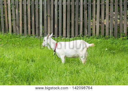 White goat in village.  Pastoral views and rural animal grazing. The cattle in the pasture grazing. Horned cloven-hoofed livestock on a ranch. Goat's milk is good for health.