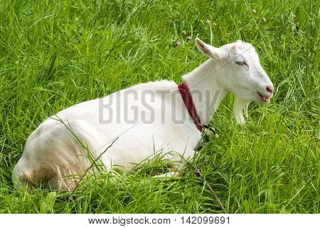 White goat chews grass, pastoral views. Rural animal grazing. Goat in the meadow. Cattle in pasture grazing. Horned cloven-hoofed livestock on ranch. Goat's milk is good for health.