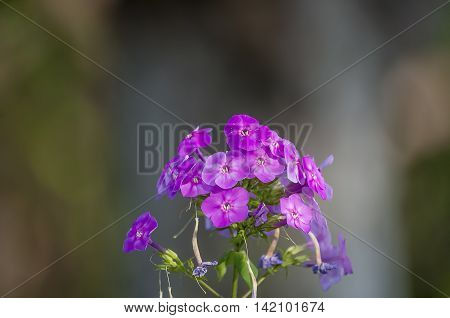 Phlox many beautiful purple flower on the blurred back ground