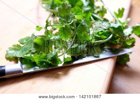 Close up with shallow depth of field of coriander or cilantro on a wooden chopping board with a knife.
