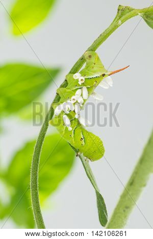 Tobacco hornworm on tomato plant with emerged wasp cocoons.