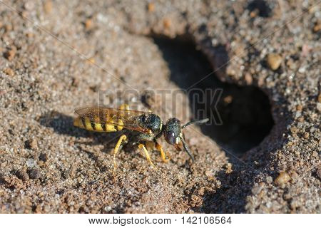 European Beewolf wasp (Philanthus triangulum) digging a burrow or chamber in preparation for egg laying