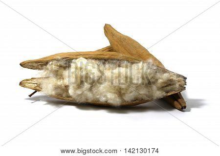Kapok Ceiba pentandra or White silk cotton tree( Ceiba pentandra (L.) Gaertn. Wong) Bombacaceae. kapok seeds with white fiber for making pillow isolated on white background