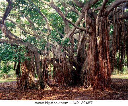 Old Banyan tree with extention of limbs with roots